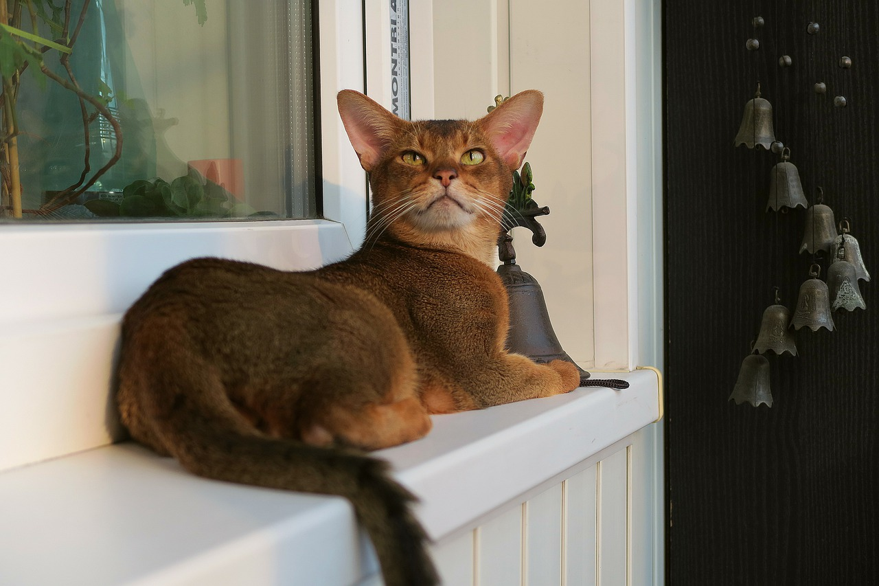 Abyssinian cat facts