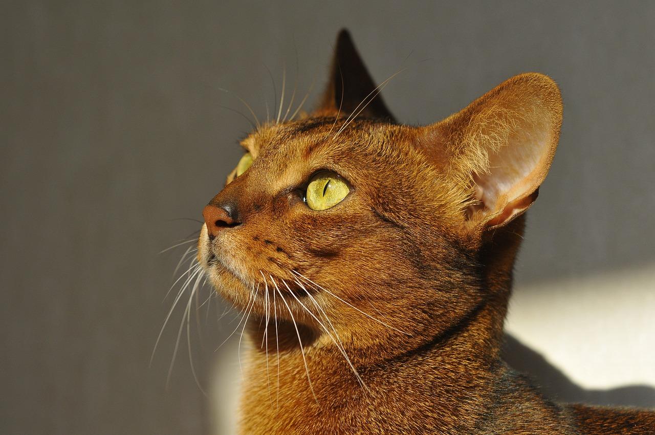 Abyssinian cat origin