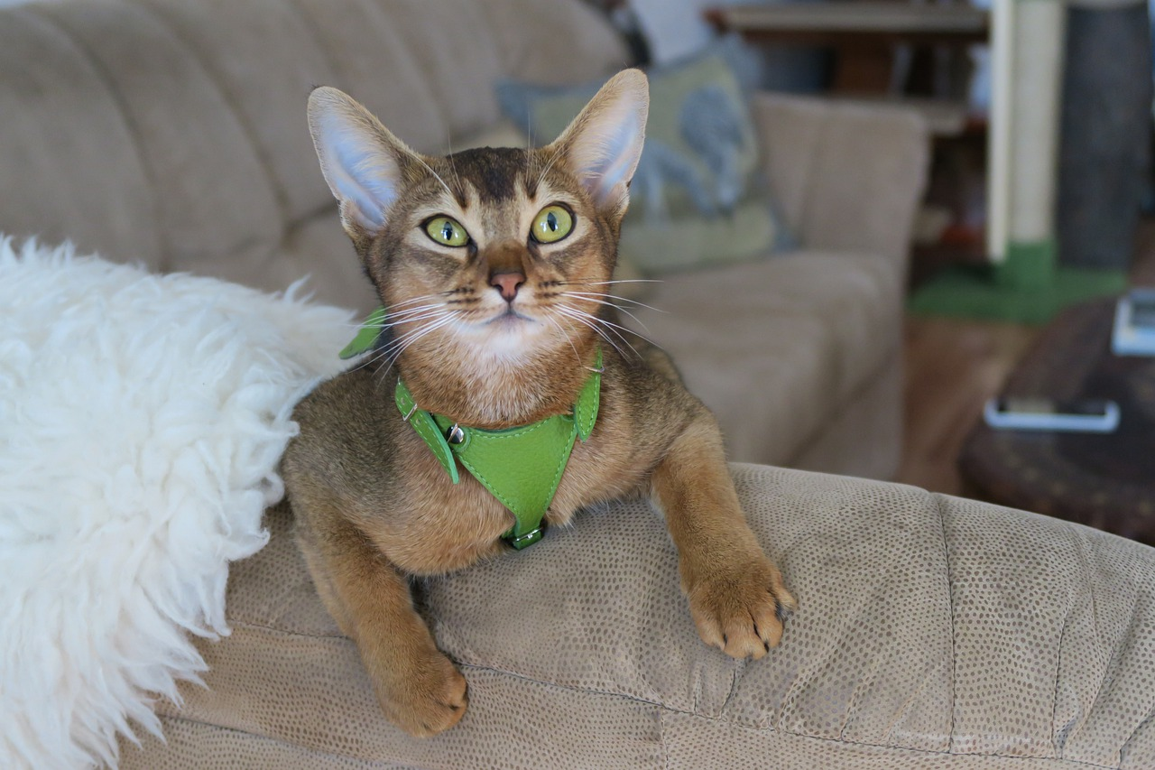 Abyssinian cat playful