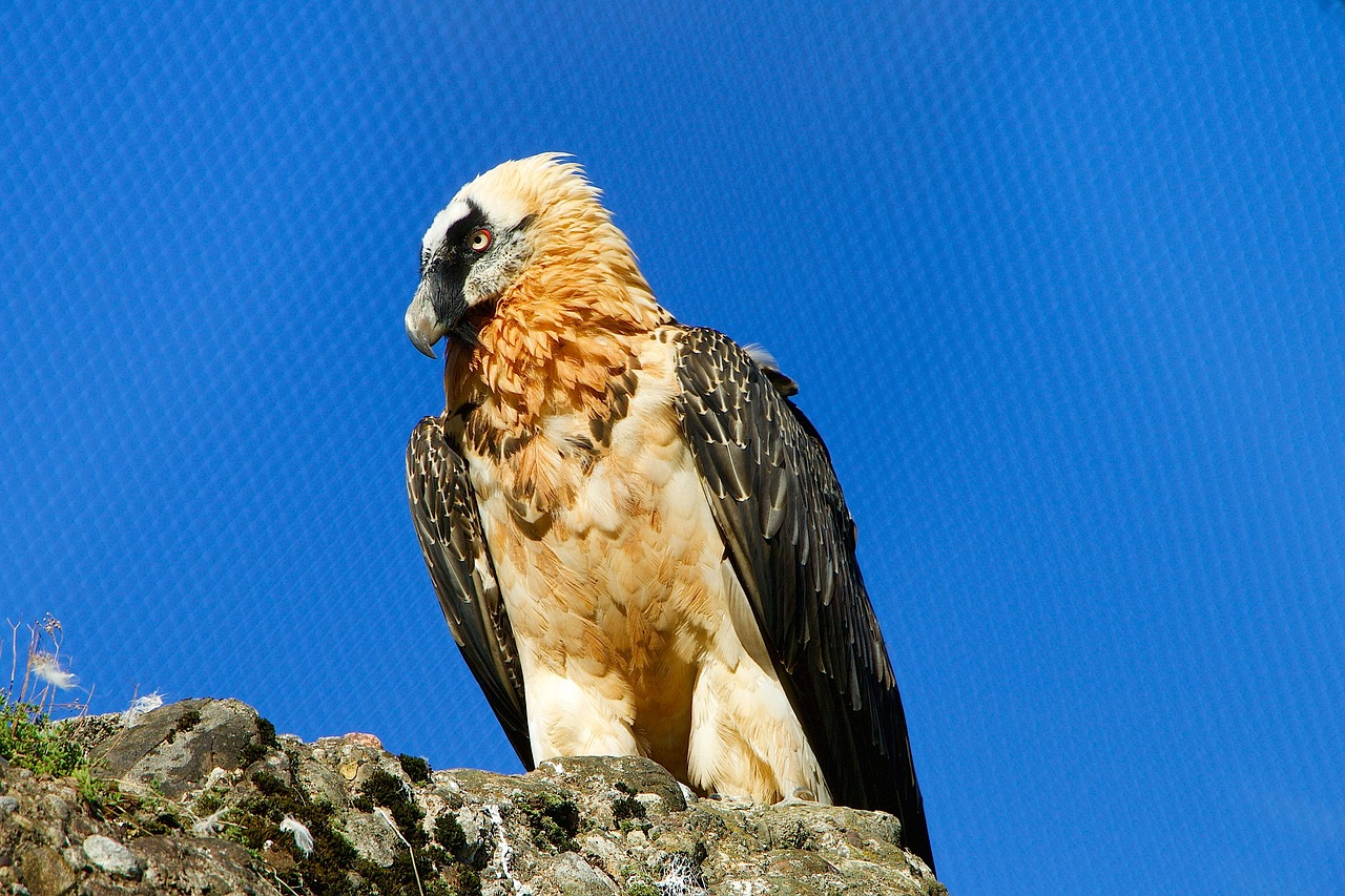 Bearded vulture dangerous birds in the world