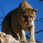 29 Wild Facts About Mountain Lions