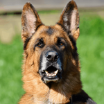 List Of 15 Most Aggressive Dog Breeds