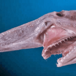 21 Terrifying Facts About The Goblin Shark