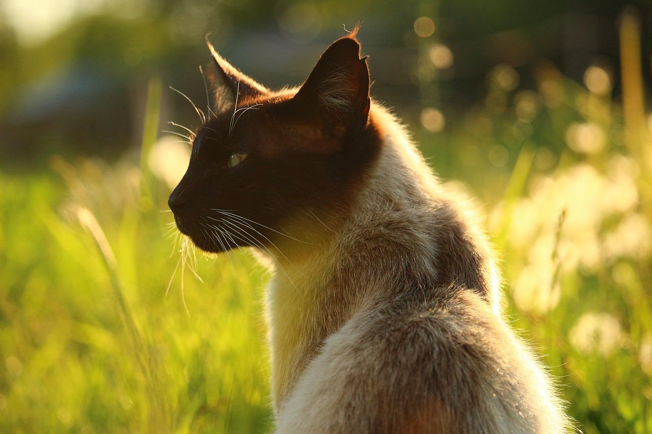 How long do siamese cats live