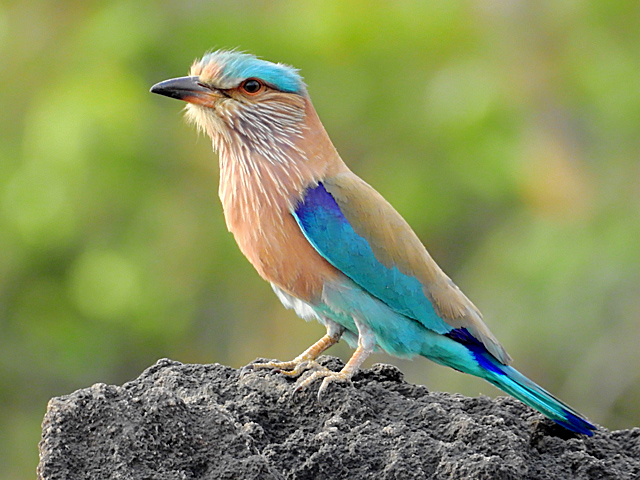 Indian roller facts