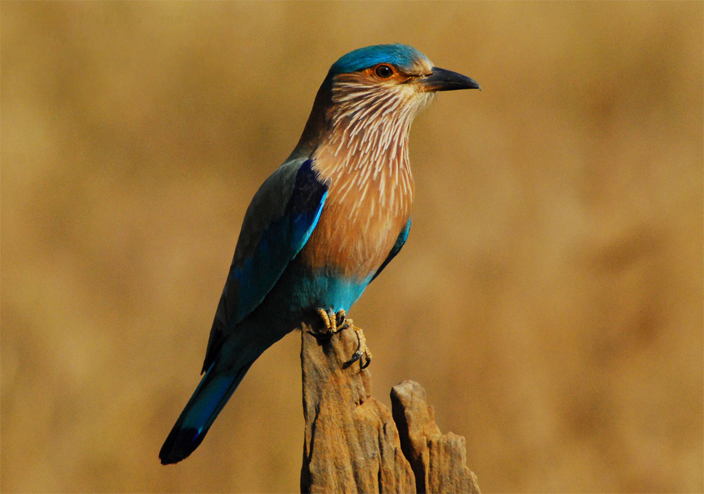 Indian roller interesting facts