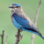Top 10 Amazing Indian Roller Facts