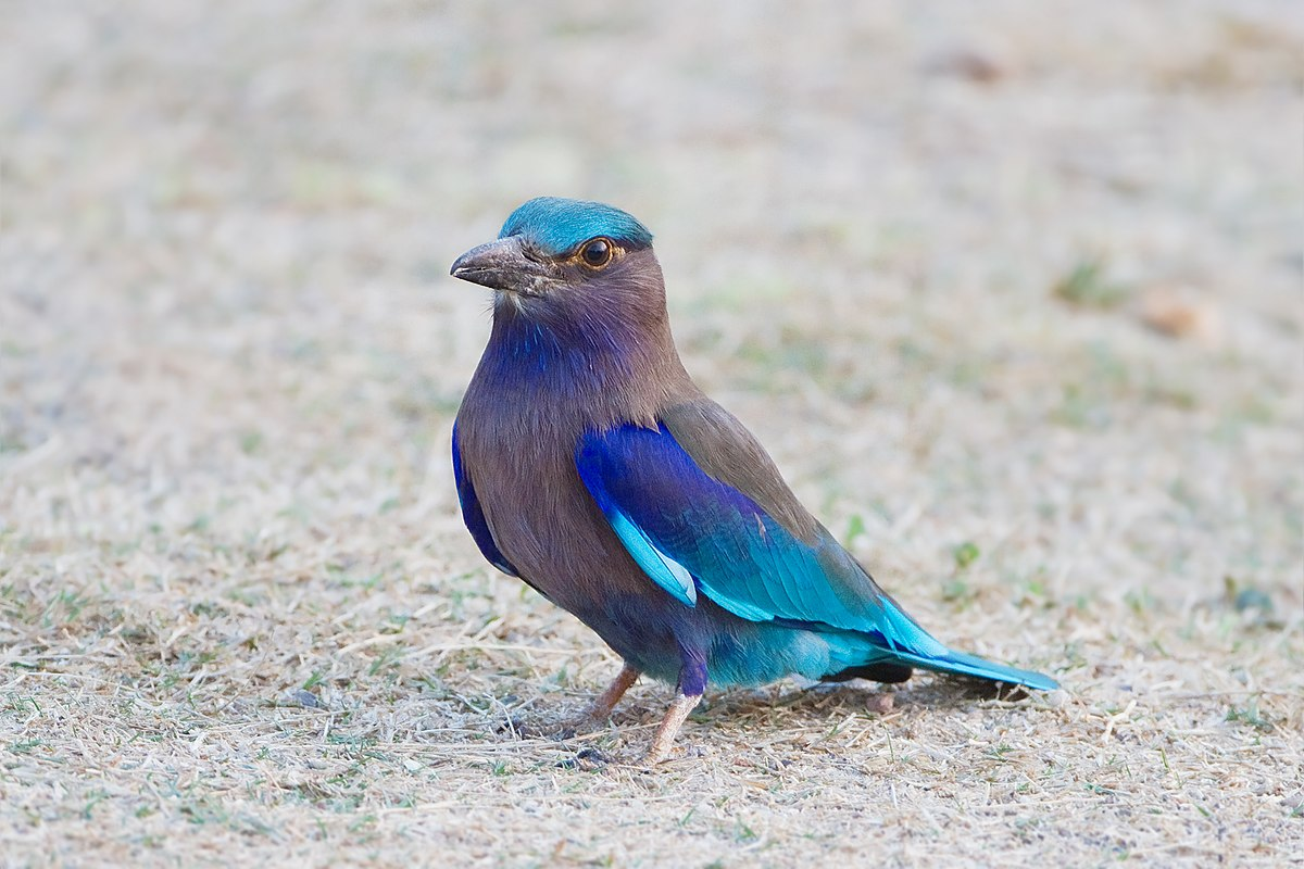 Indochinese roller
