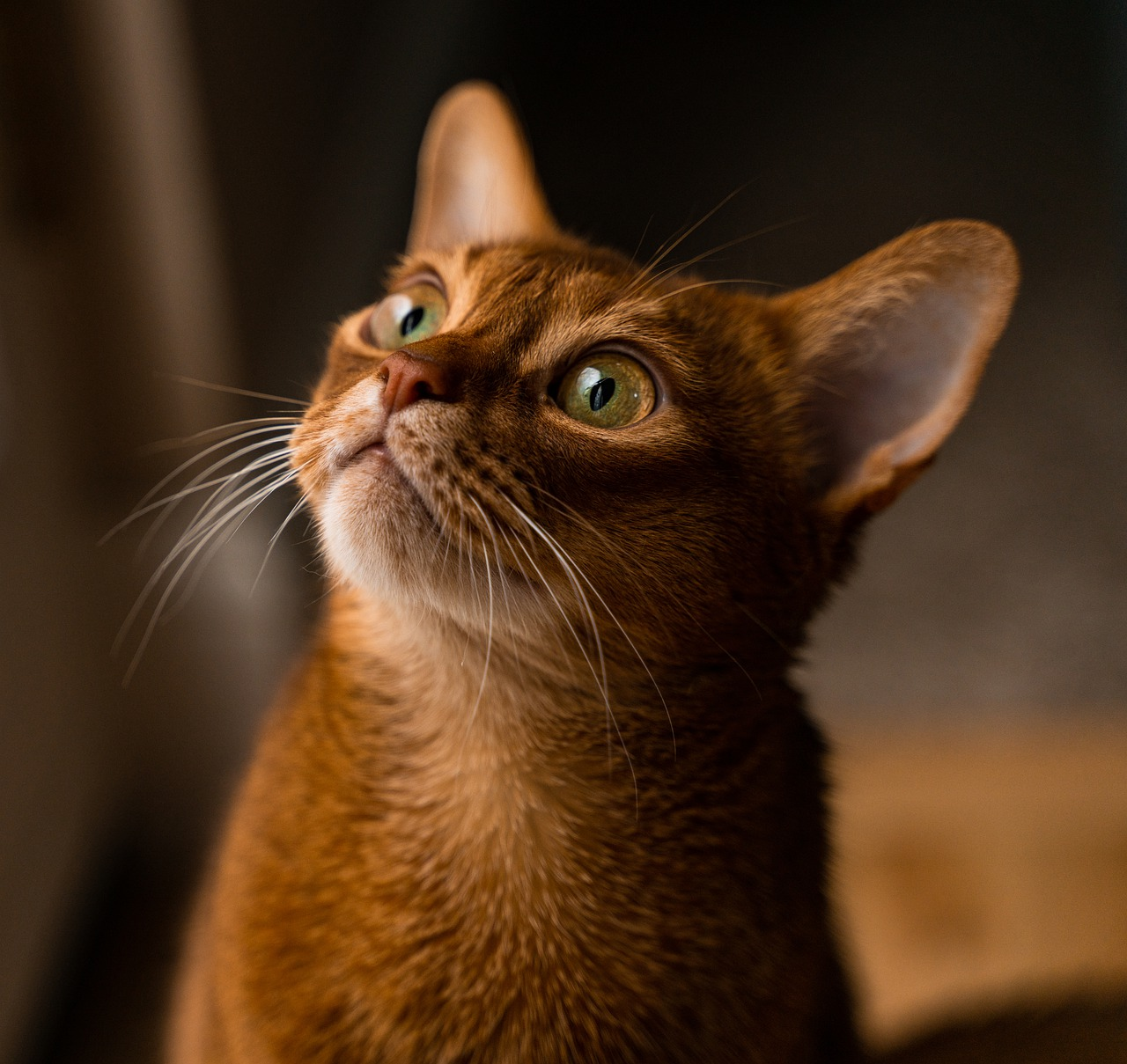 Interesting abyssinian cat facts