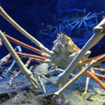 21 Creepy Facts About The Japanese Spider Crab