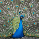 28 Proud Facts About Peacocks