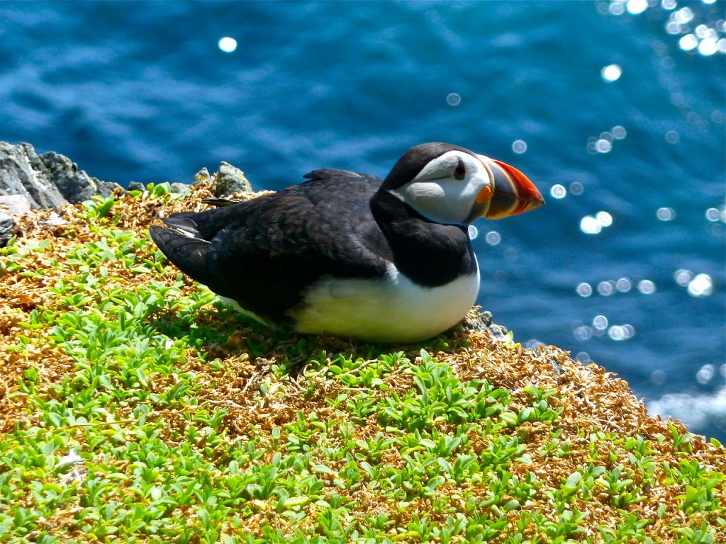Puffin interesting facts