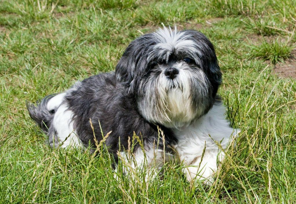 Shi Tzu lying in the grass