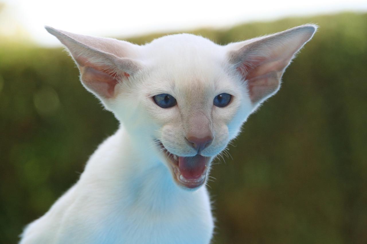 Siamese kitten hissing