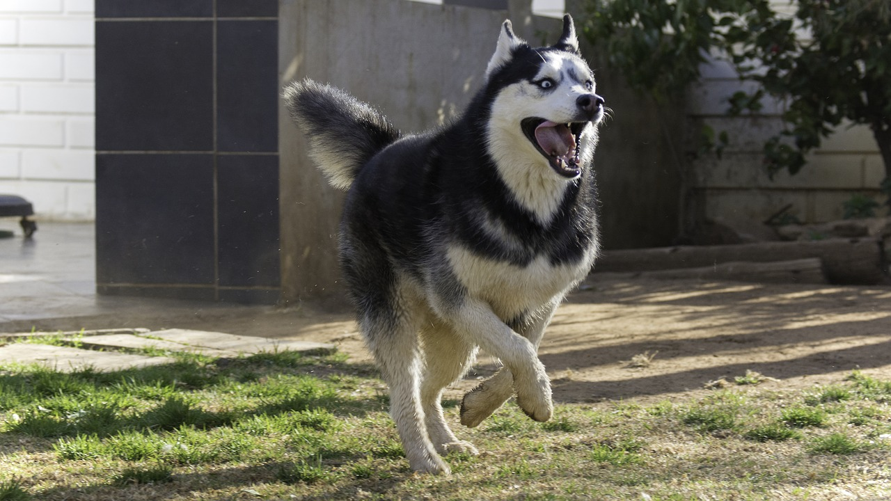 Siberian husky active