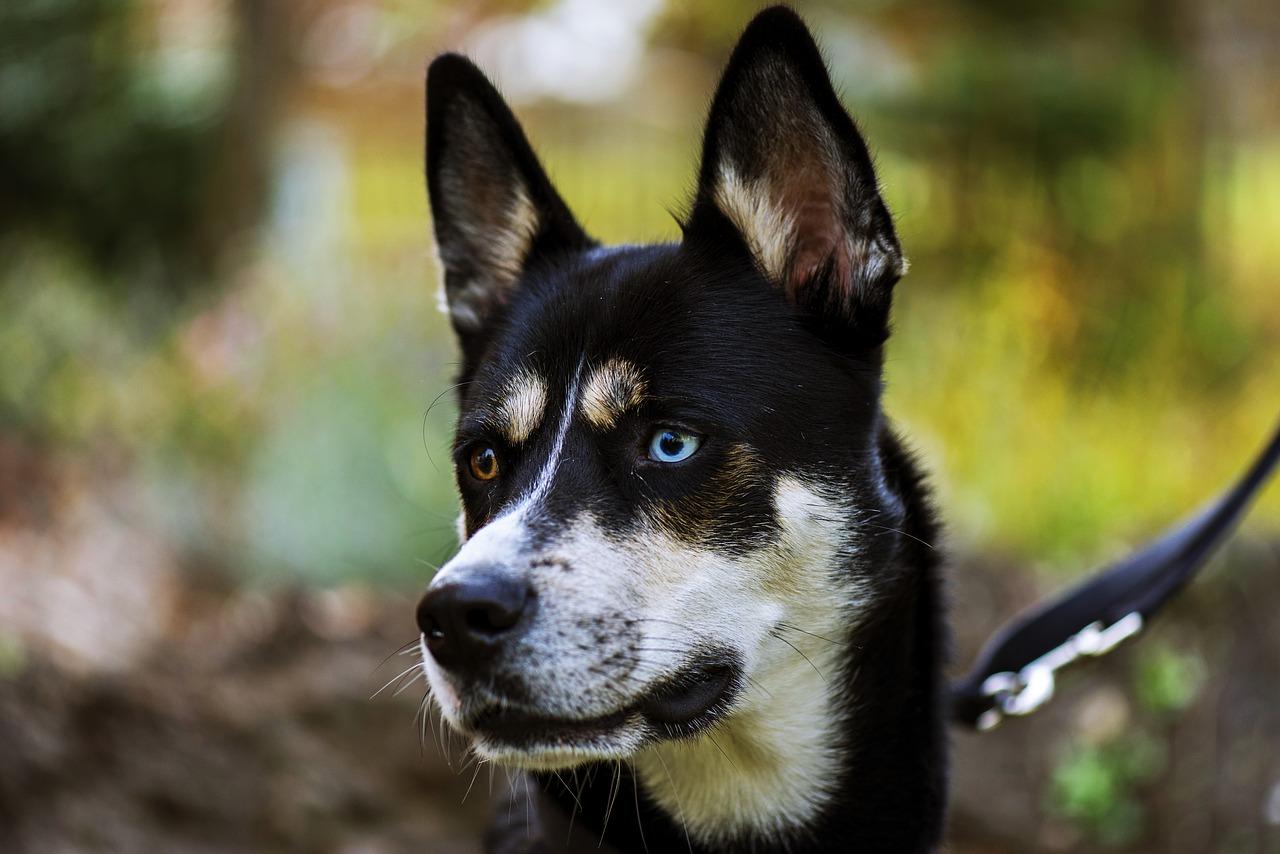 SIberian husky eye color