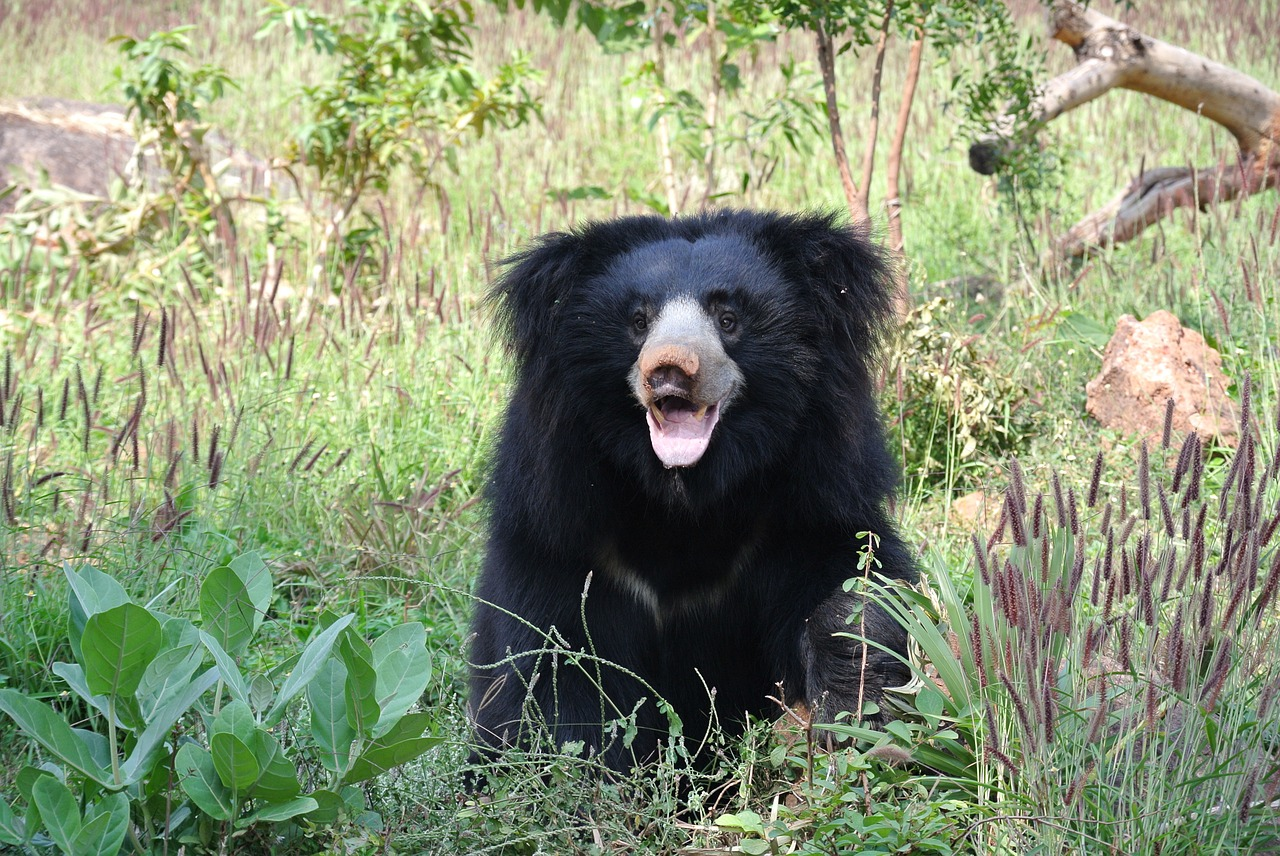 Sloth Bear in India