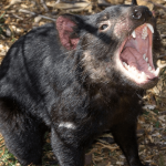 23 Interesting Facts About Tasmanian Devils