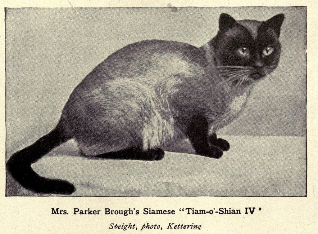 A Siamese in the early 20th century
