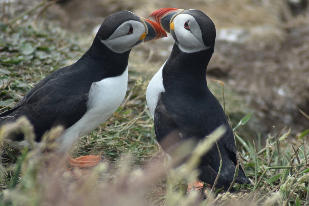A couple of puffins
