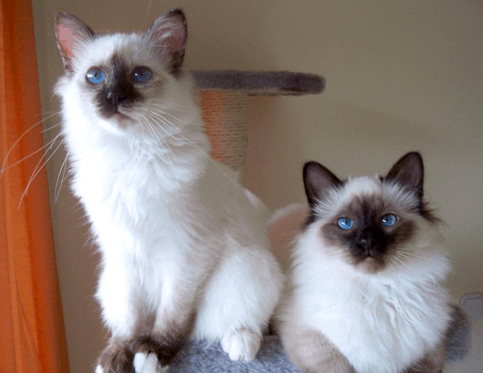 cute Birman cats