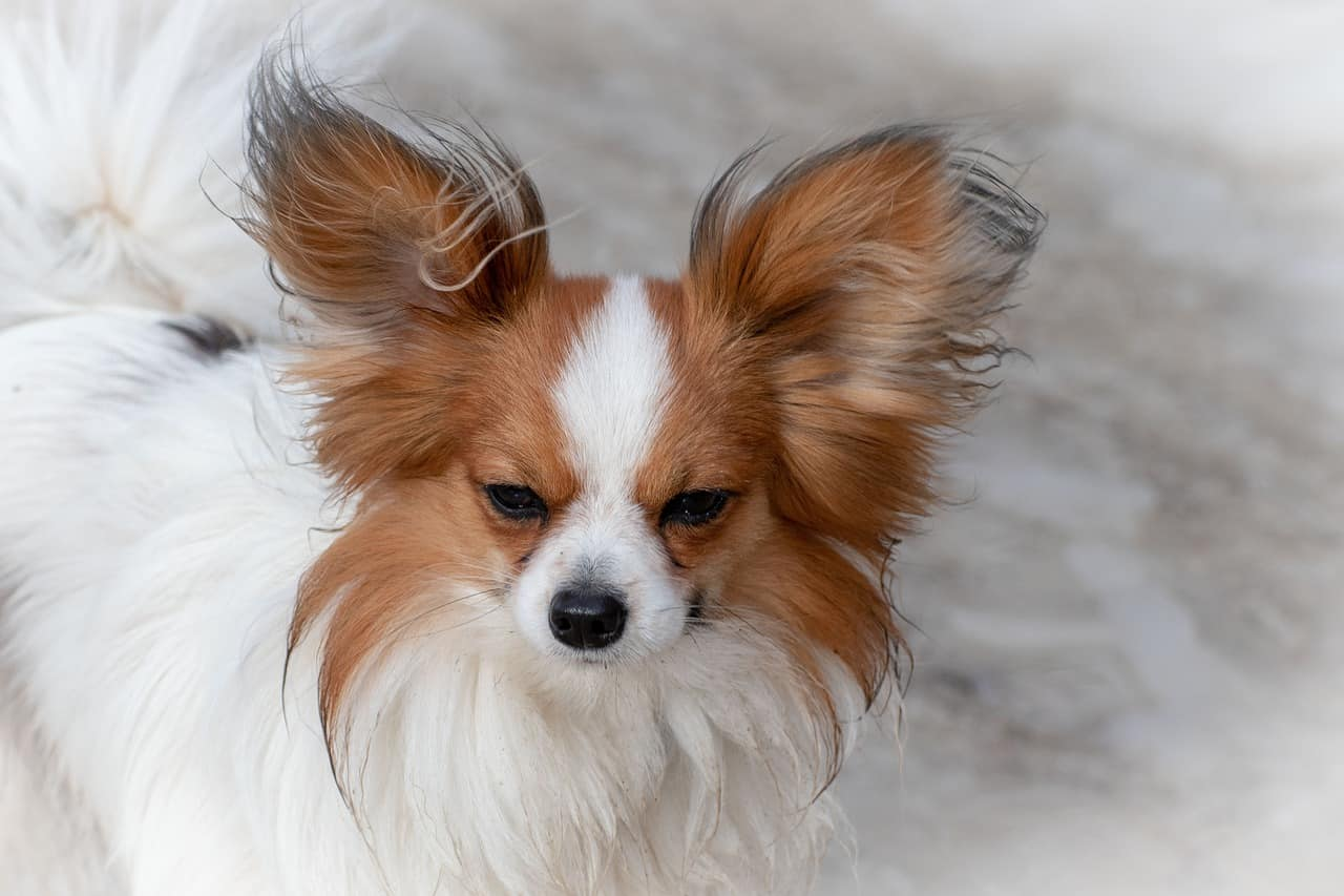Papillon with big ears