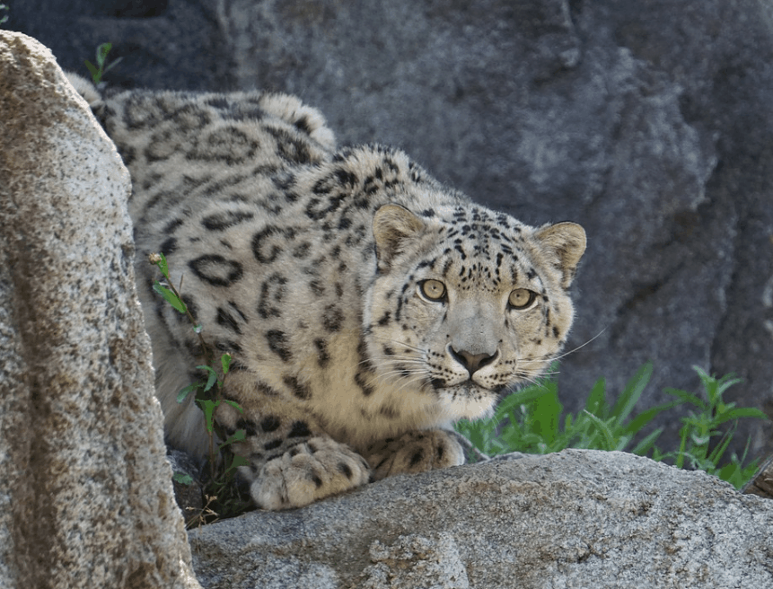 Are snow leopards endangered
