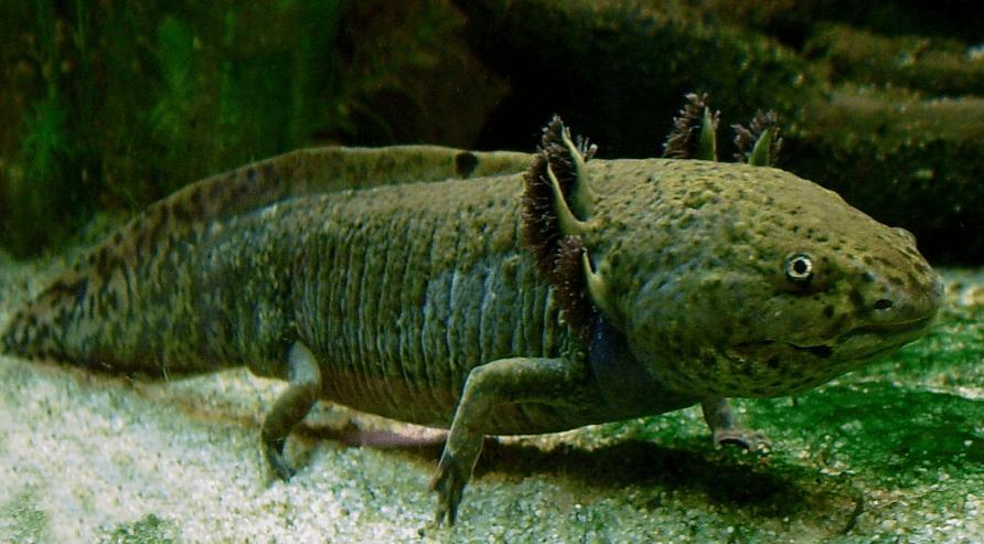 Axolotl gills