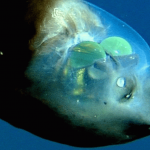 Top 10 Spooky Barreleye Fish Facts