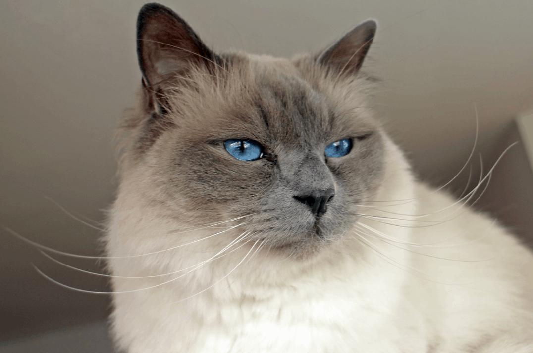 most beautiful cats in the world Birman cat