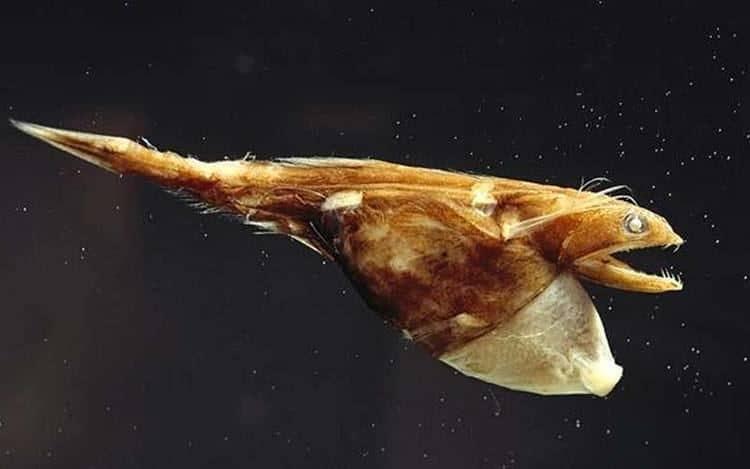 Black swallower deep ocean