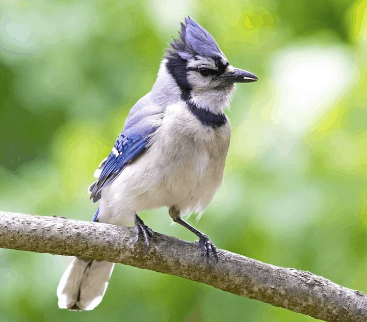 blue jay crest raised