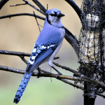 17 Fun Facts About Blue Jays