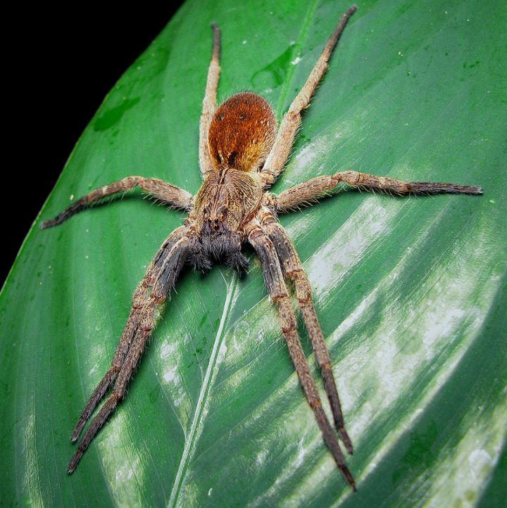 brazilian wandering spider dangerous