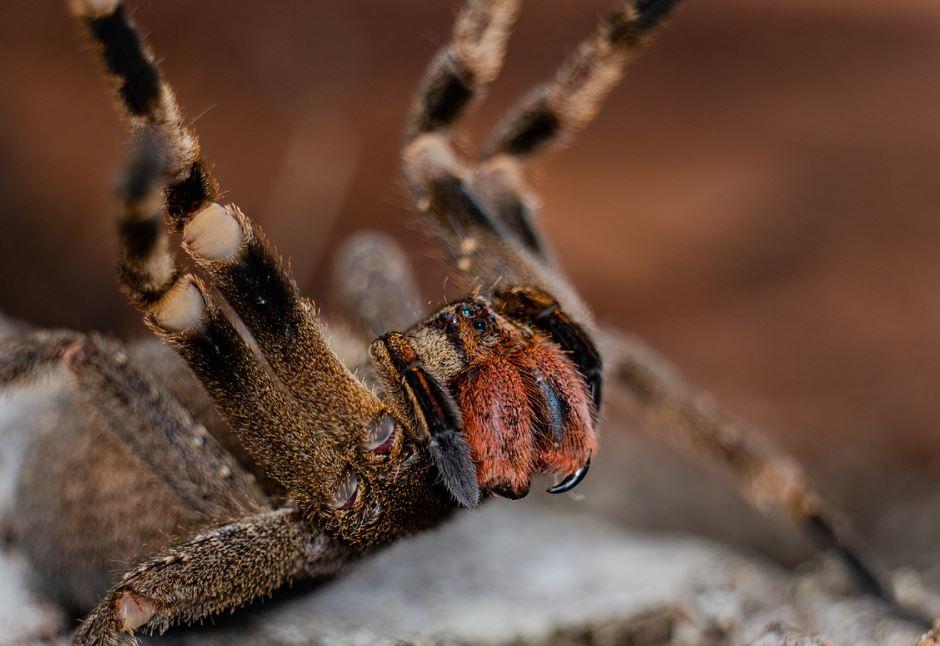 brazilian wandering spider defensive position