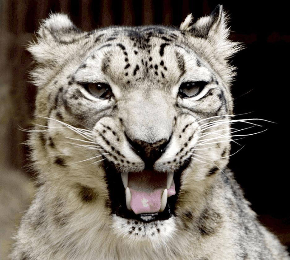 can snow leopards roar