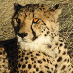 Top 10 Facts About Cheetahs