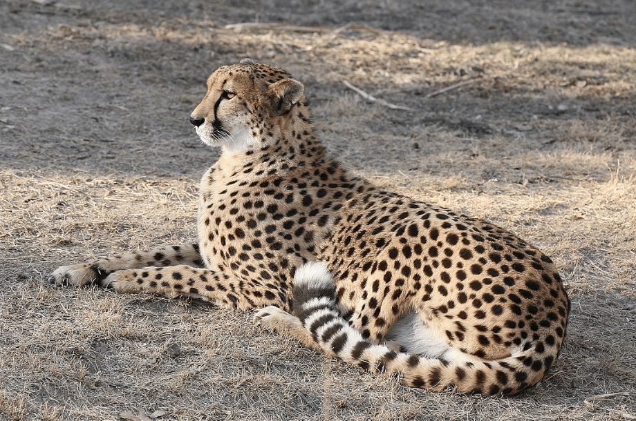 Cheetah in the St. Louis Zoo