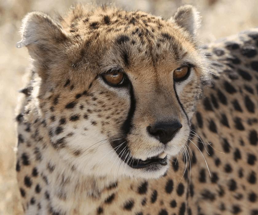 Cheetah interesting facts