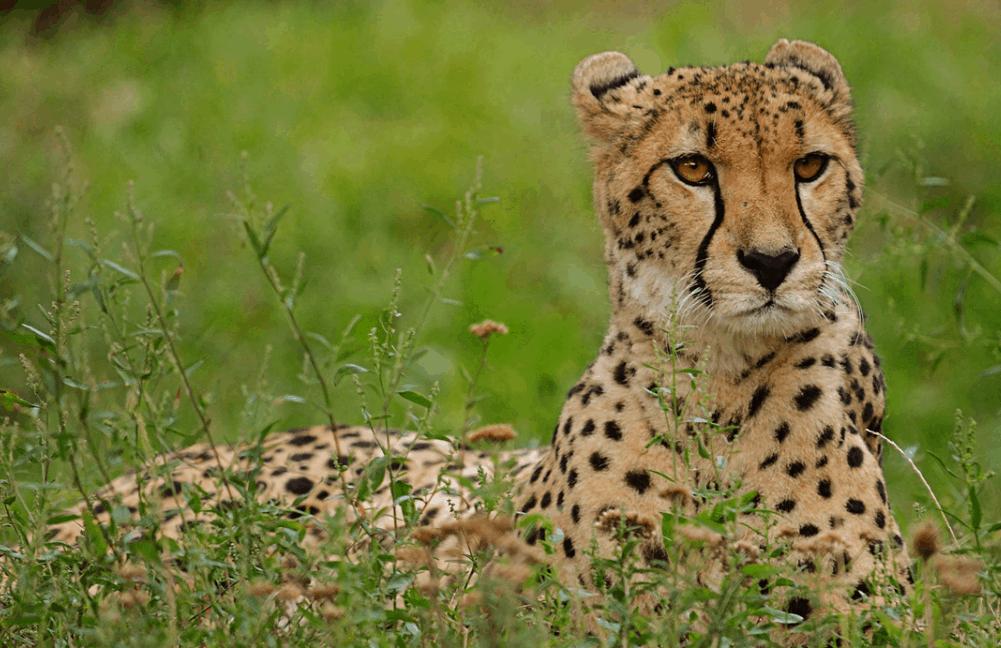 cheetah relatives