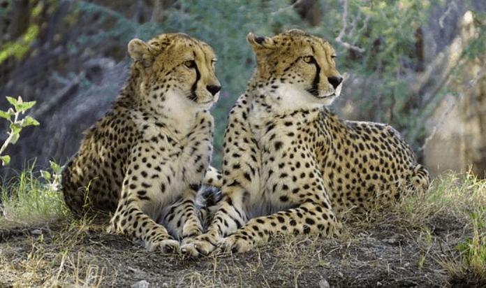 cheetahs communication