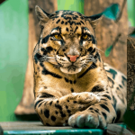 18 Interesting Facts About Clouded Leopards