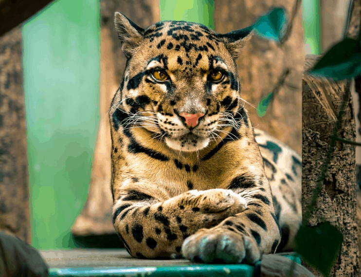 clouded leopard - List of big cats species