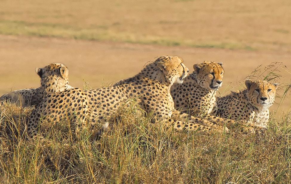 A coalition of male cheetahs