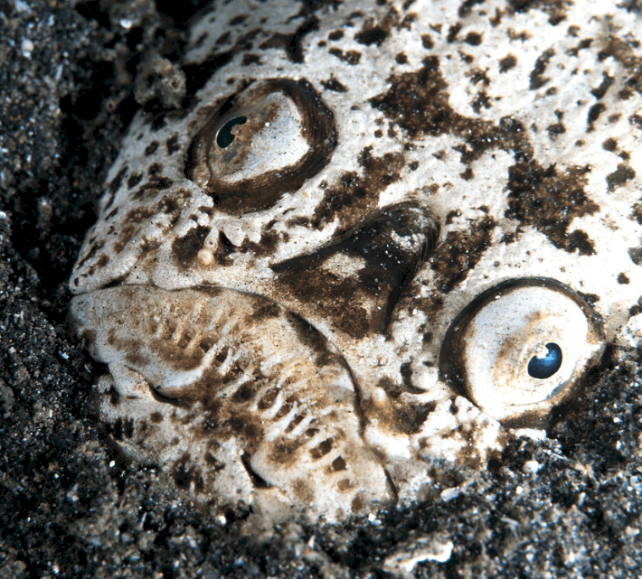 Stargazers are some of the creepiest creatures on the planet