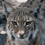 Top 10 Fun Facts About The Eurasian Lynx