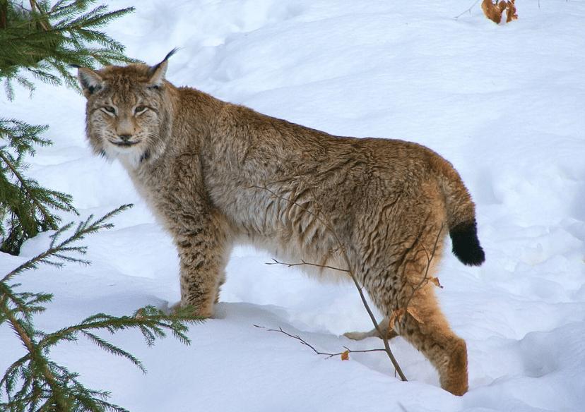 Eurasian lynx in Germany