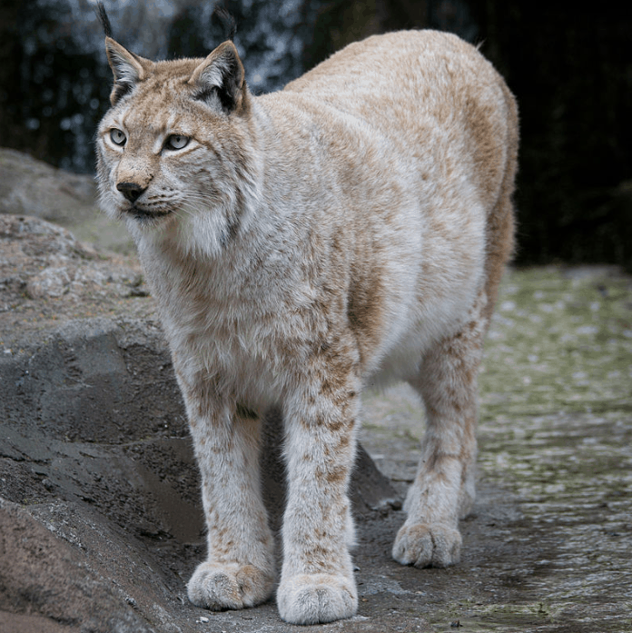 Eurasian lynx interesting facts