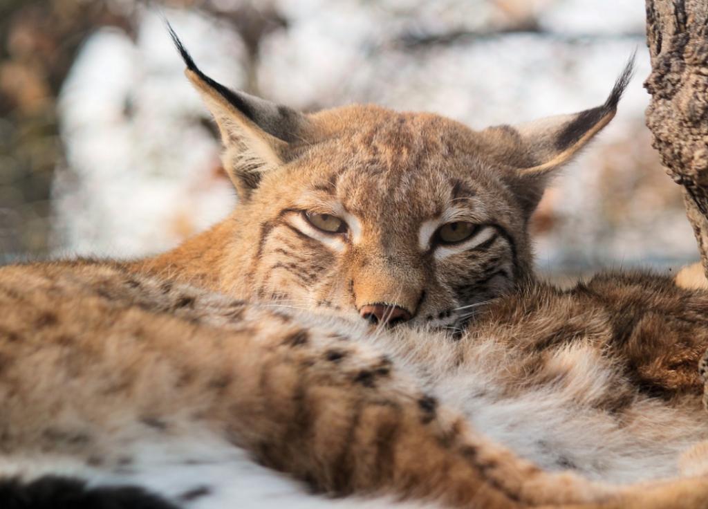 Eurasian lynx mating season