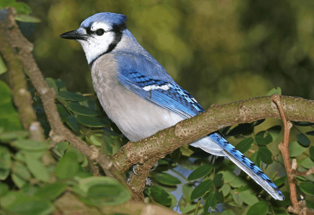 fun facts about blue jays